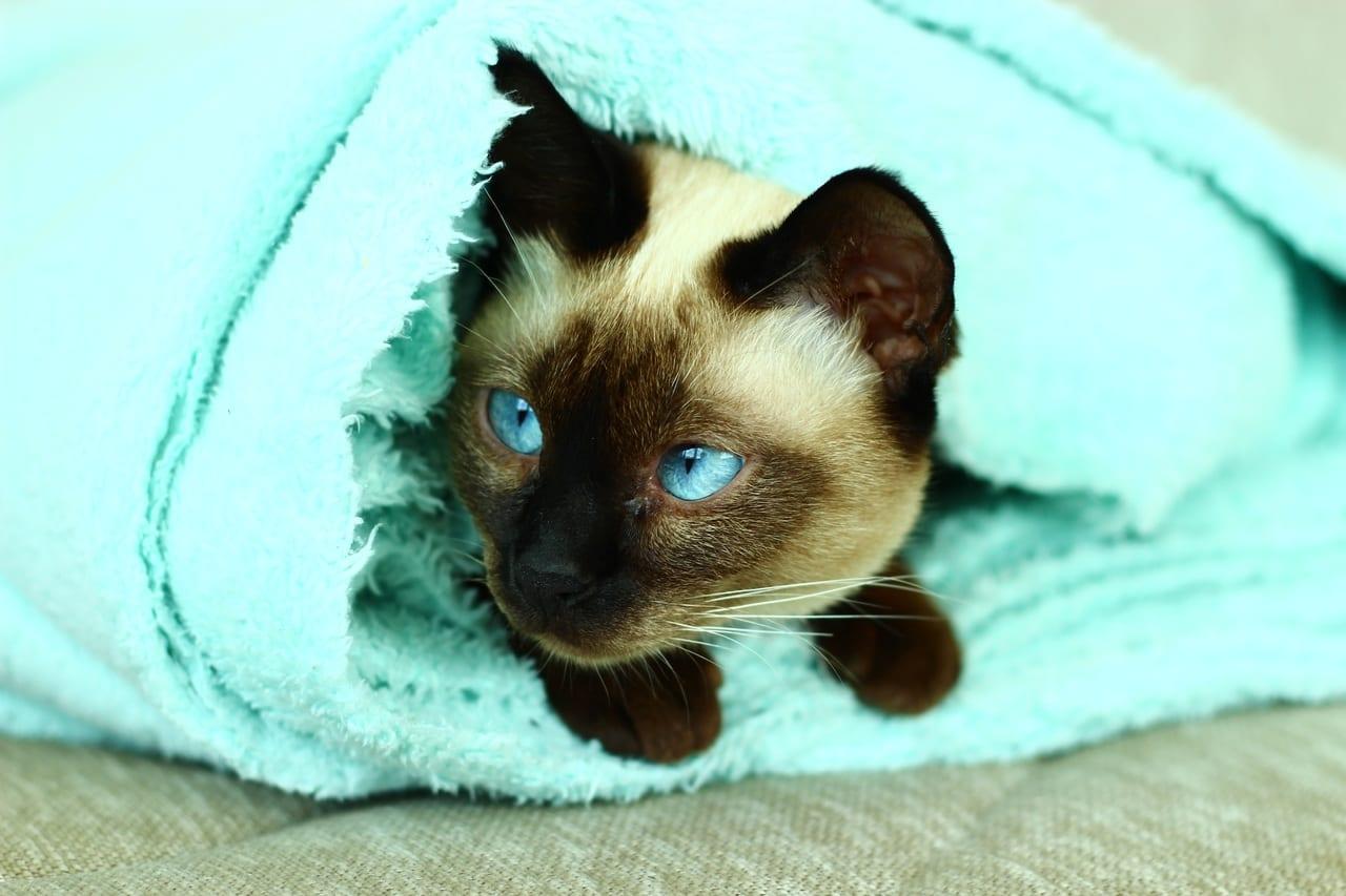 El gatito himalayo es muy curioso