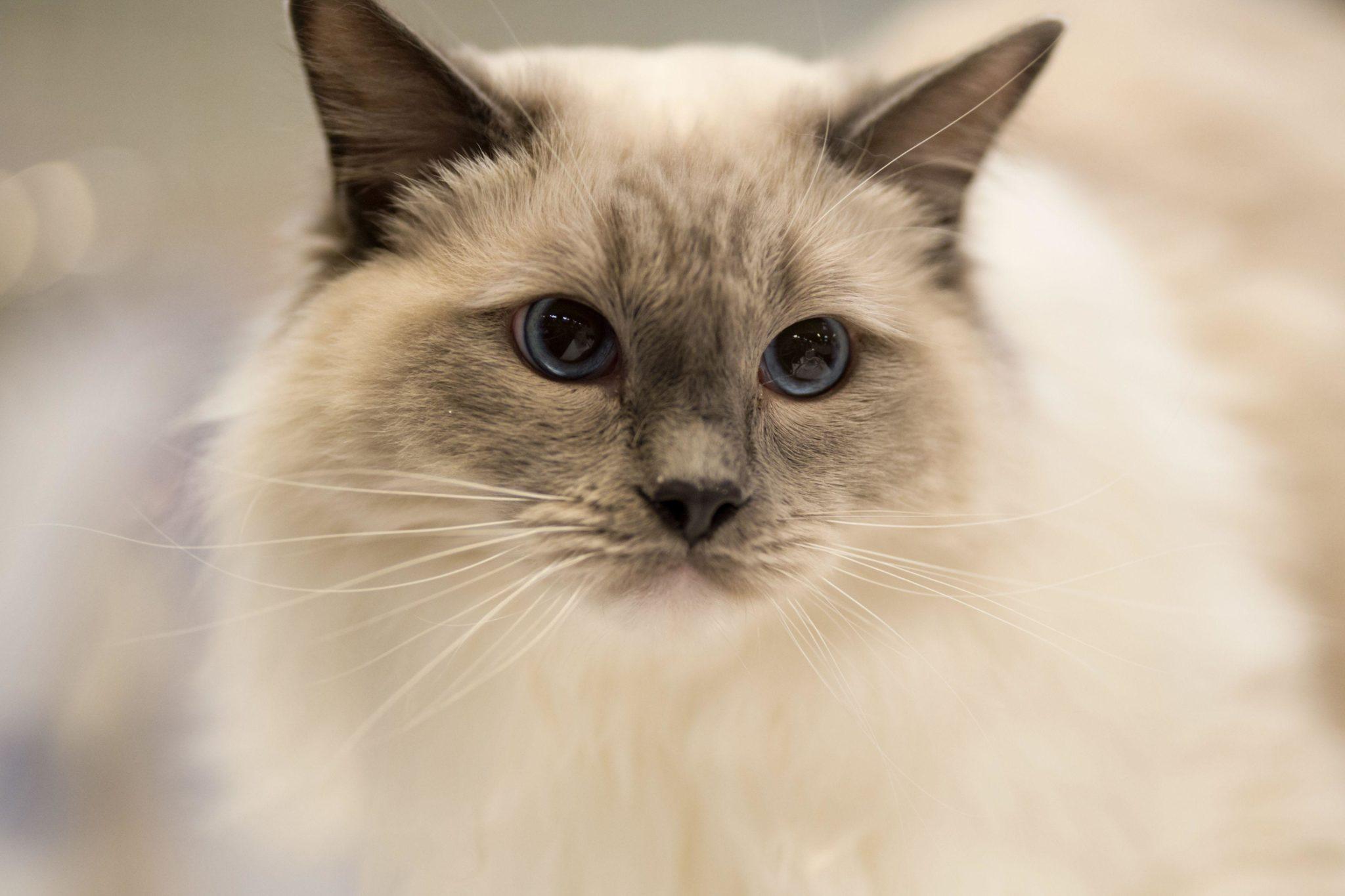 Gato adulto con pedigrí