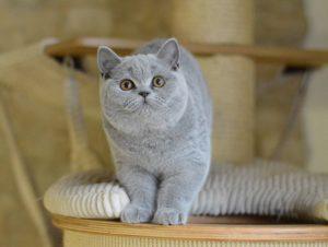 Gato joven con pedigrí