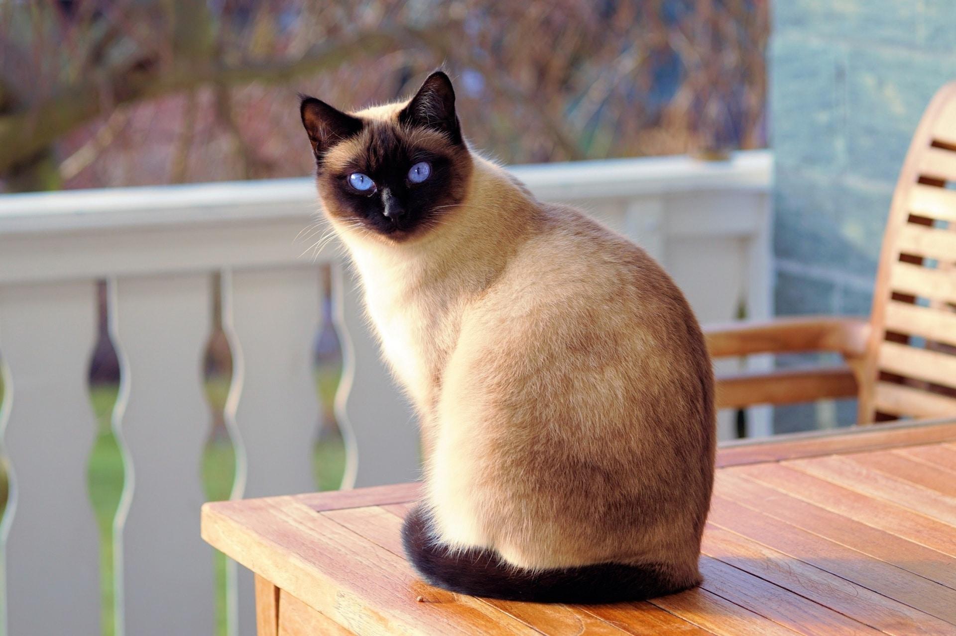 Gato siamés con pedigrí