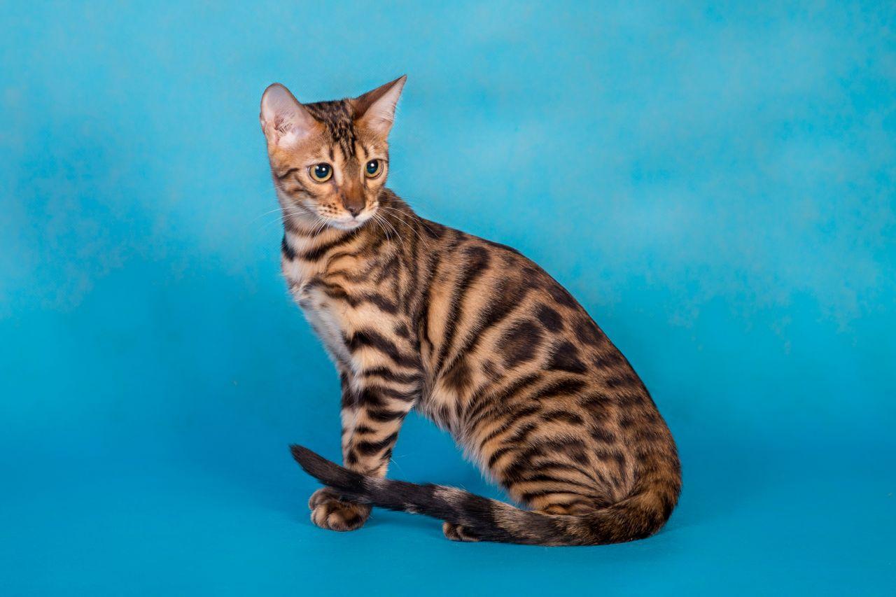 Un gato con pedigrí
