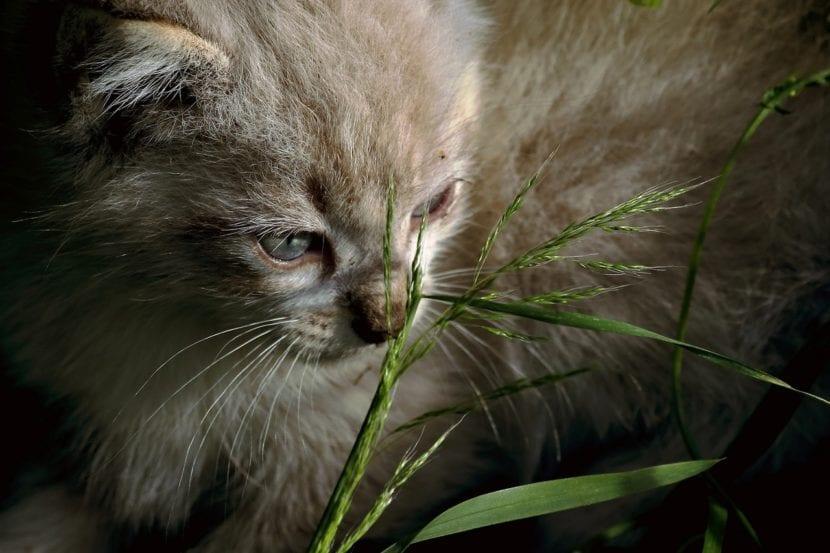 Bebé de gato de pallas