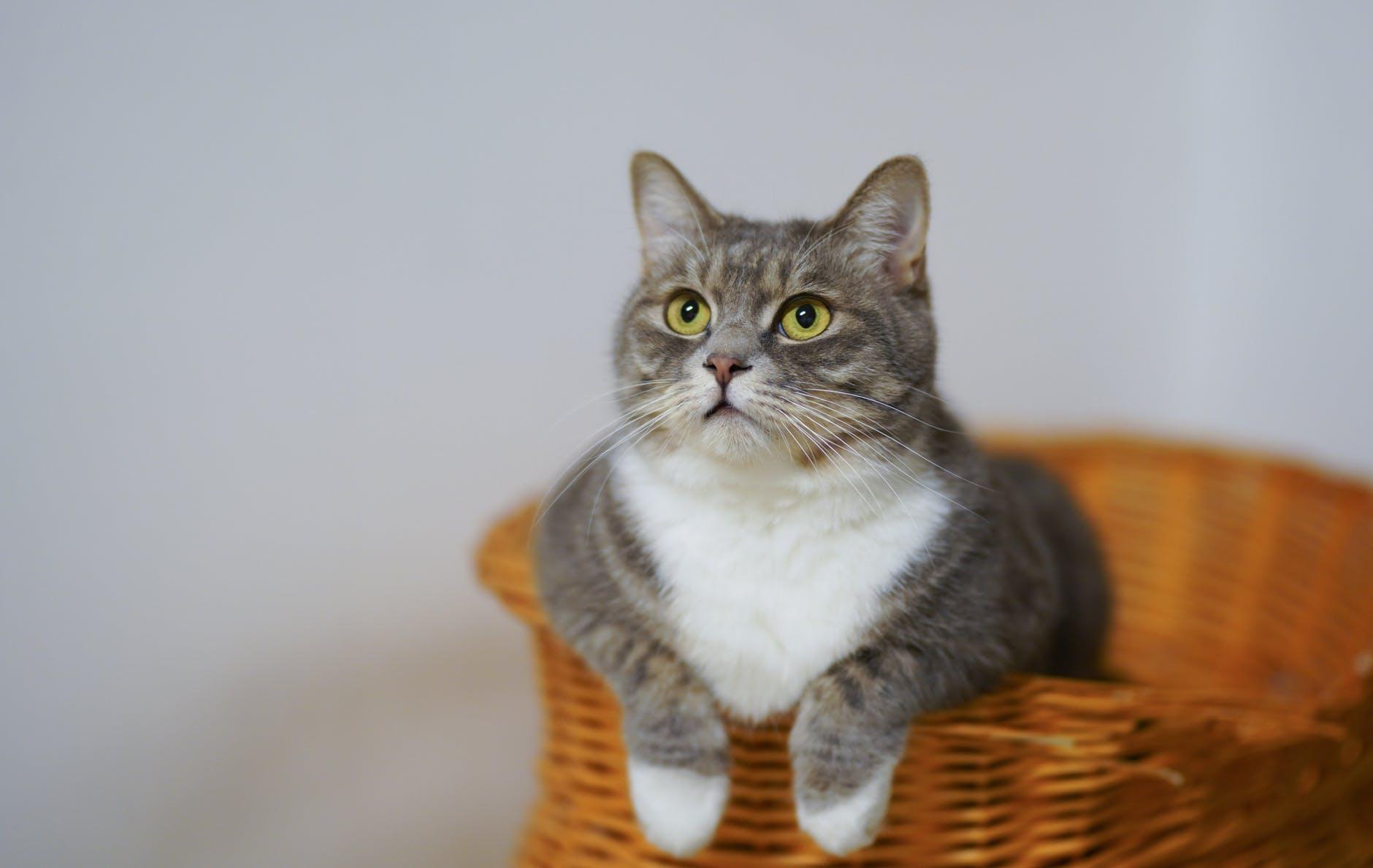 El gato es un felino pequeño
