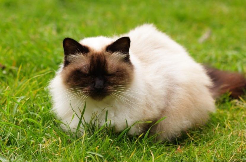 El gato himalayo es un animal muy cariñoso