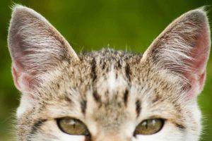 Orejas del gato