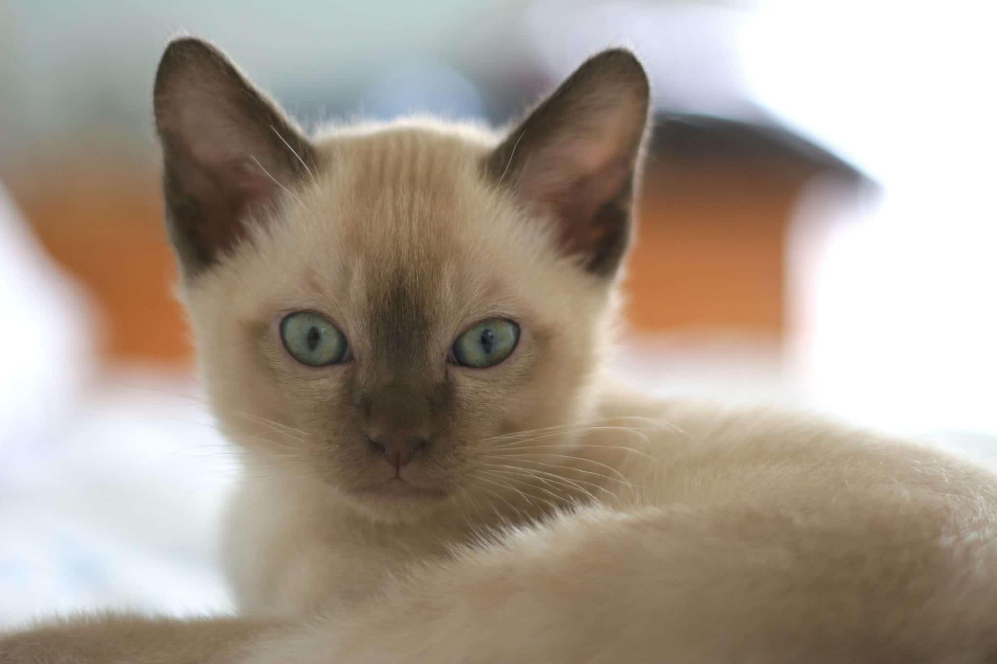 Orejas de gato pequeño