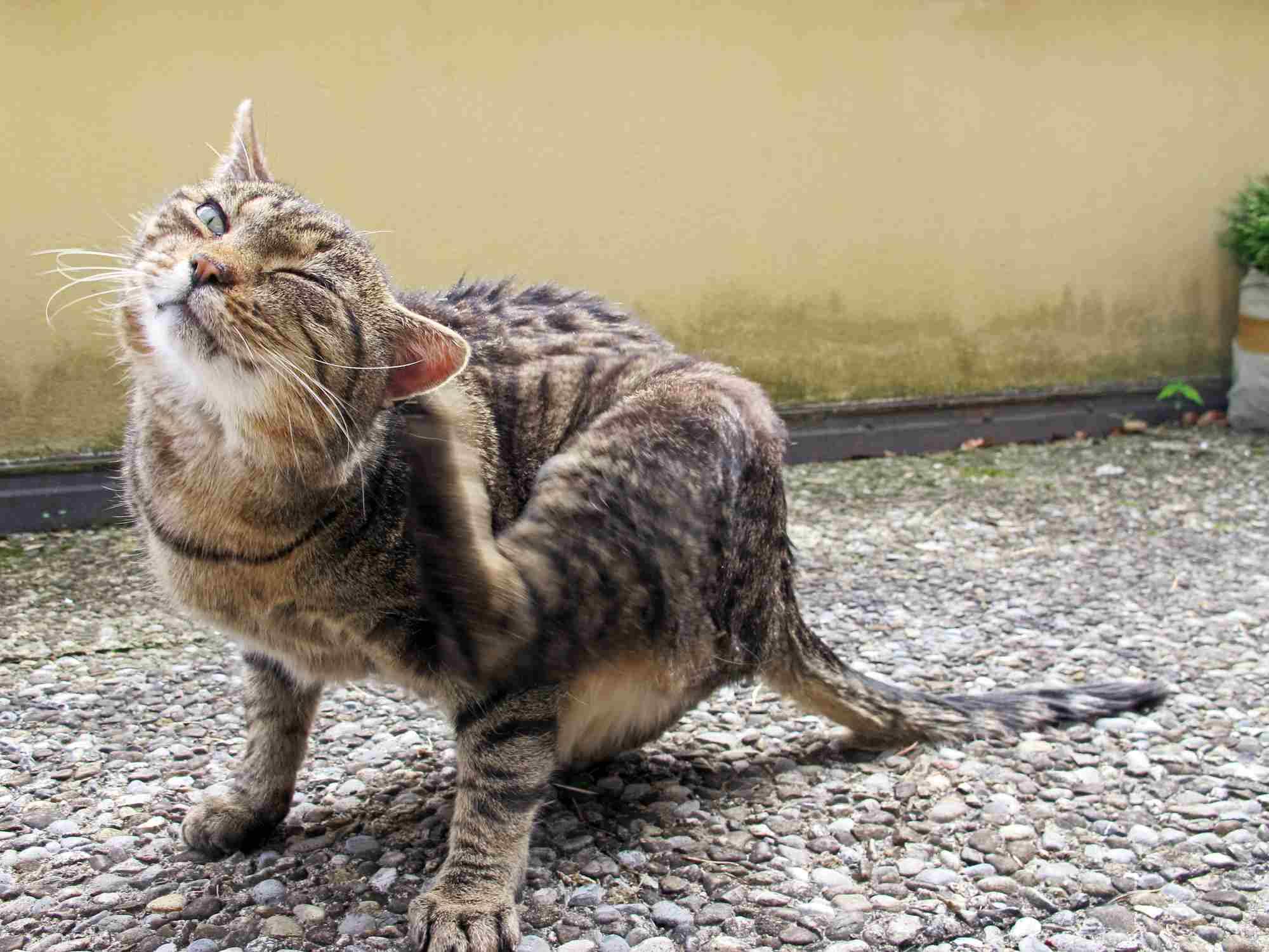 Las orejas de los gatos son sensibles