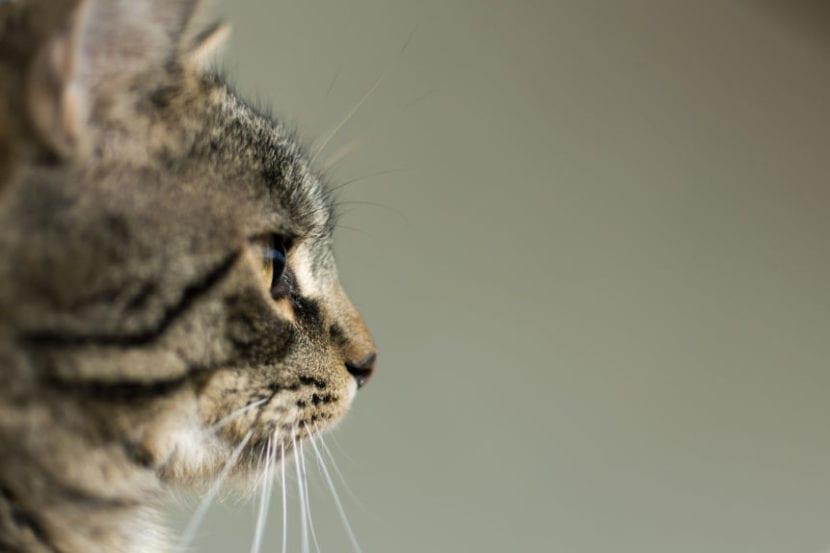Los gatos pueden comer atún fresco
