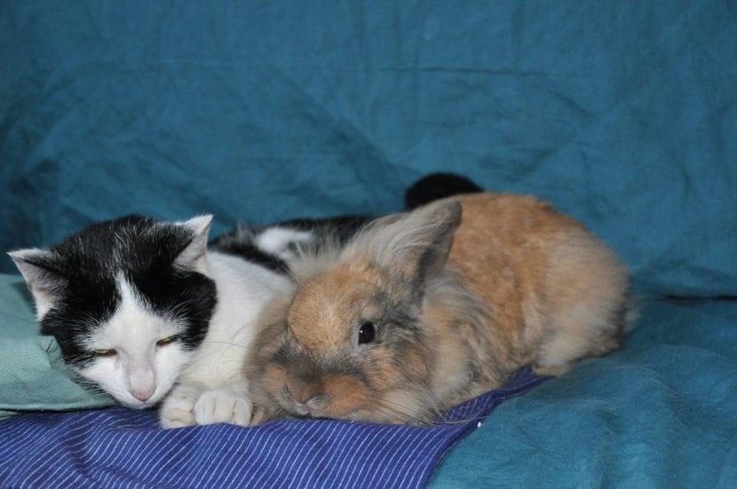Gato con conejo