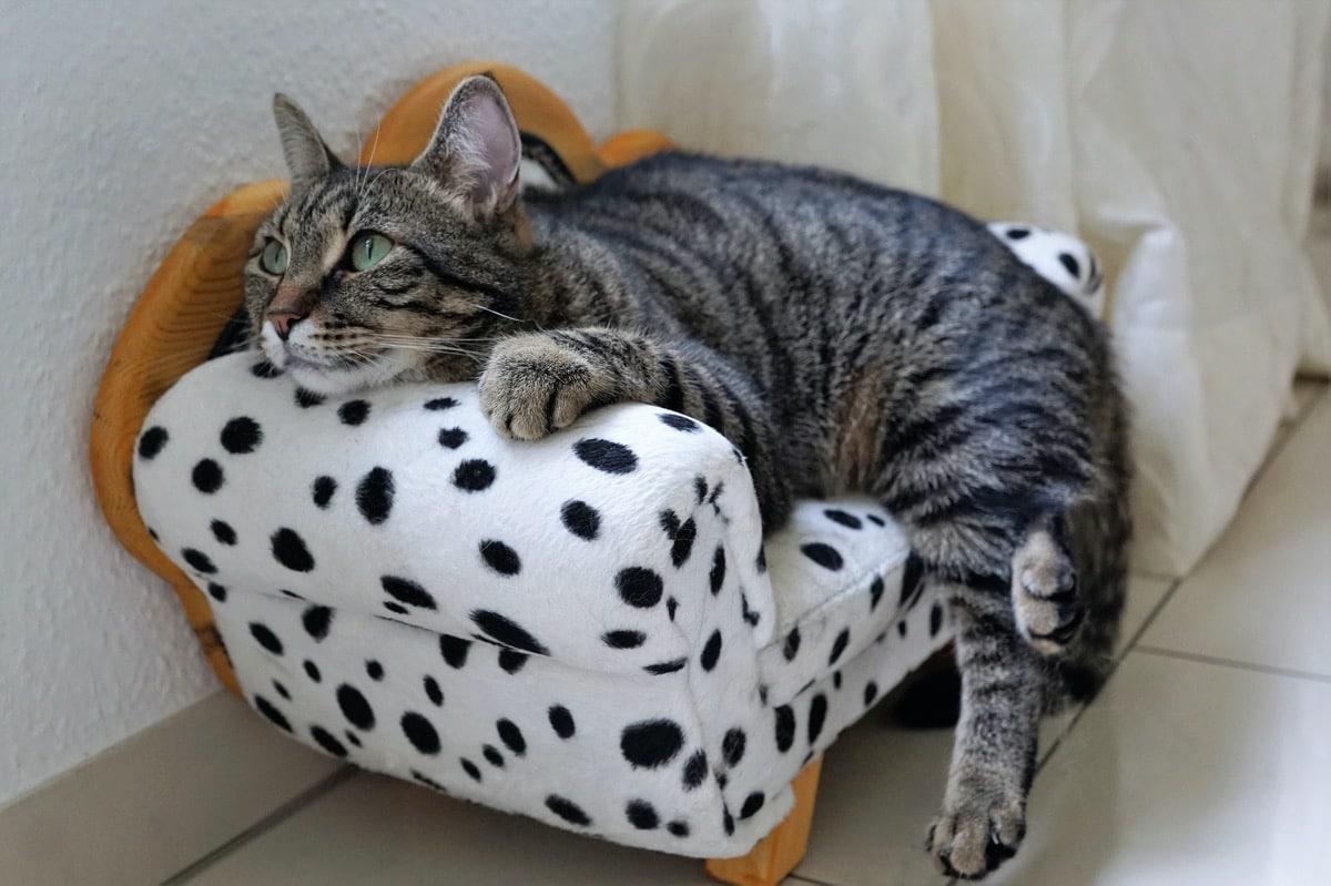 El gato enfermo con ictericia necesita cuidados