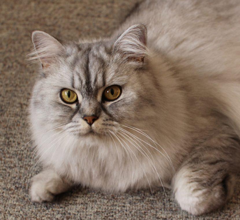 El gato maúlla cuando quiere