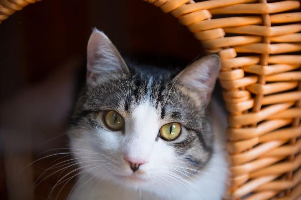 No dejes que tu gato salga fuera. Así evitarás que se contagie
