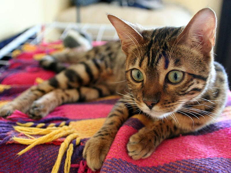 La faringitis es una enfermedad que causa muchas molestias al gato
