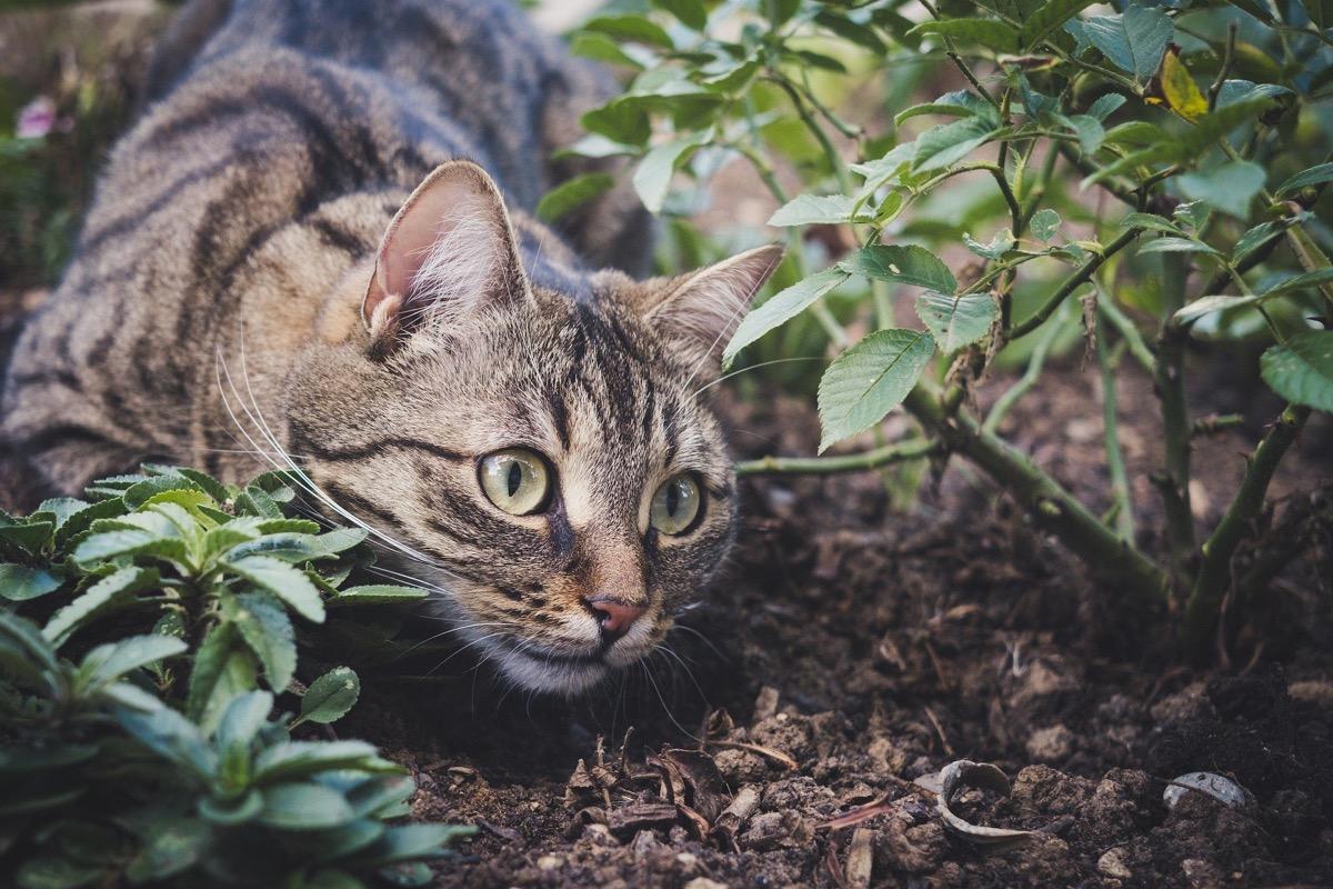 Las gatas en celo quieren salir a buscar macho