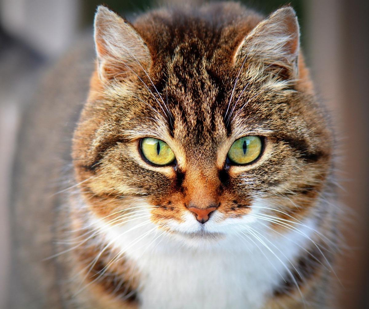 Las gatas en celo necesitan cuidados especiales