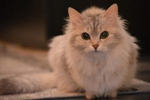 Un gato con faringitis necesita ayuda veterinaria