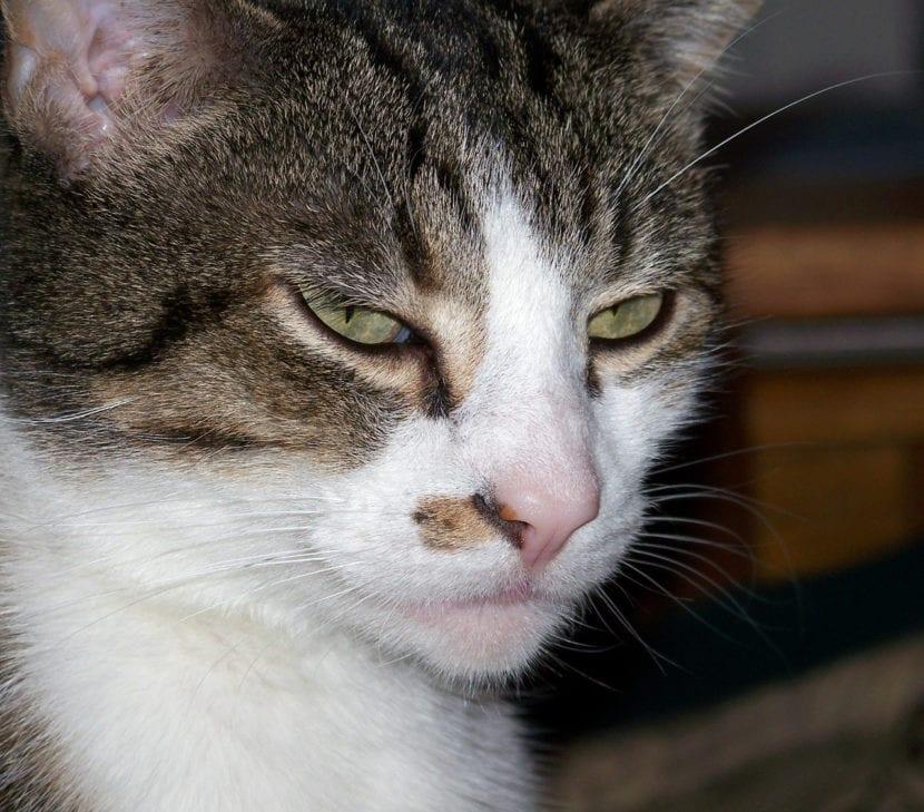 El gato con leucopenia puede tener una vida digna