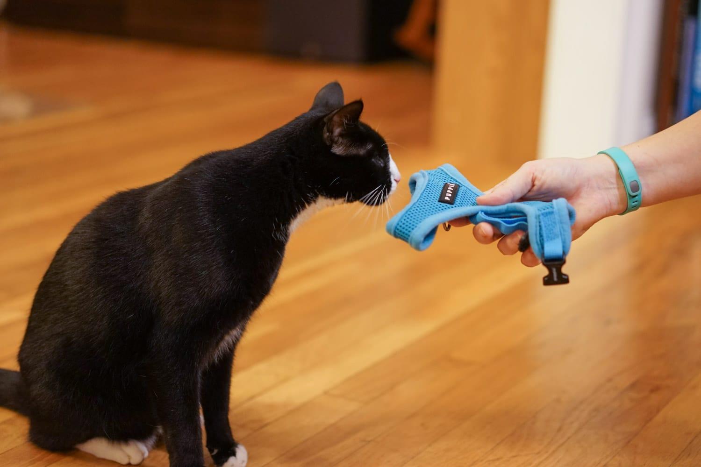 Deja que el gato huela el arnés primero