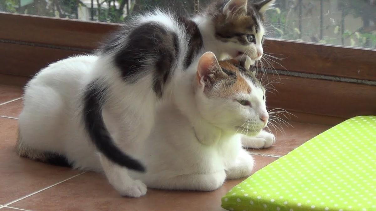 mamá gata y su gatito comiéndole la oreja