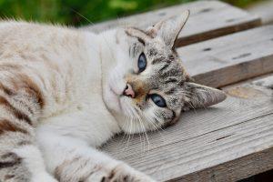 La muerte súbita en gatos a veces no se puede evitar