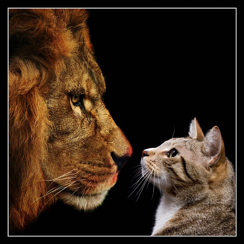 Gato y león