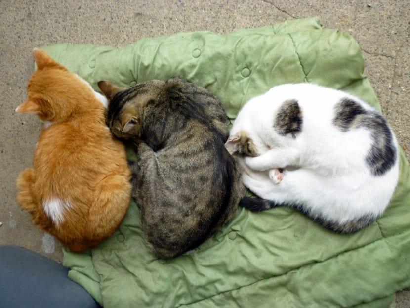 Los gatos pueden vivir en grupos