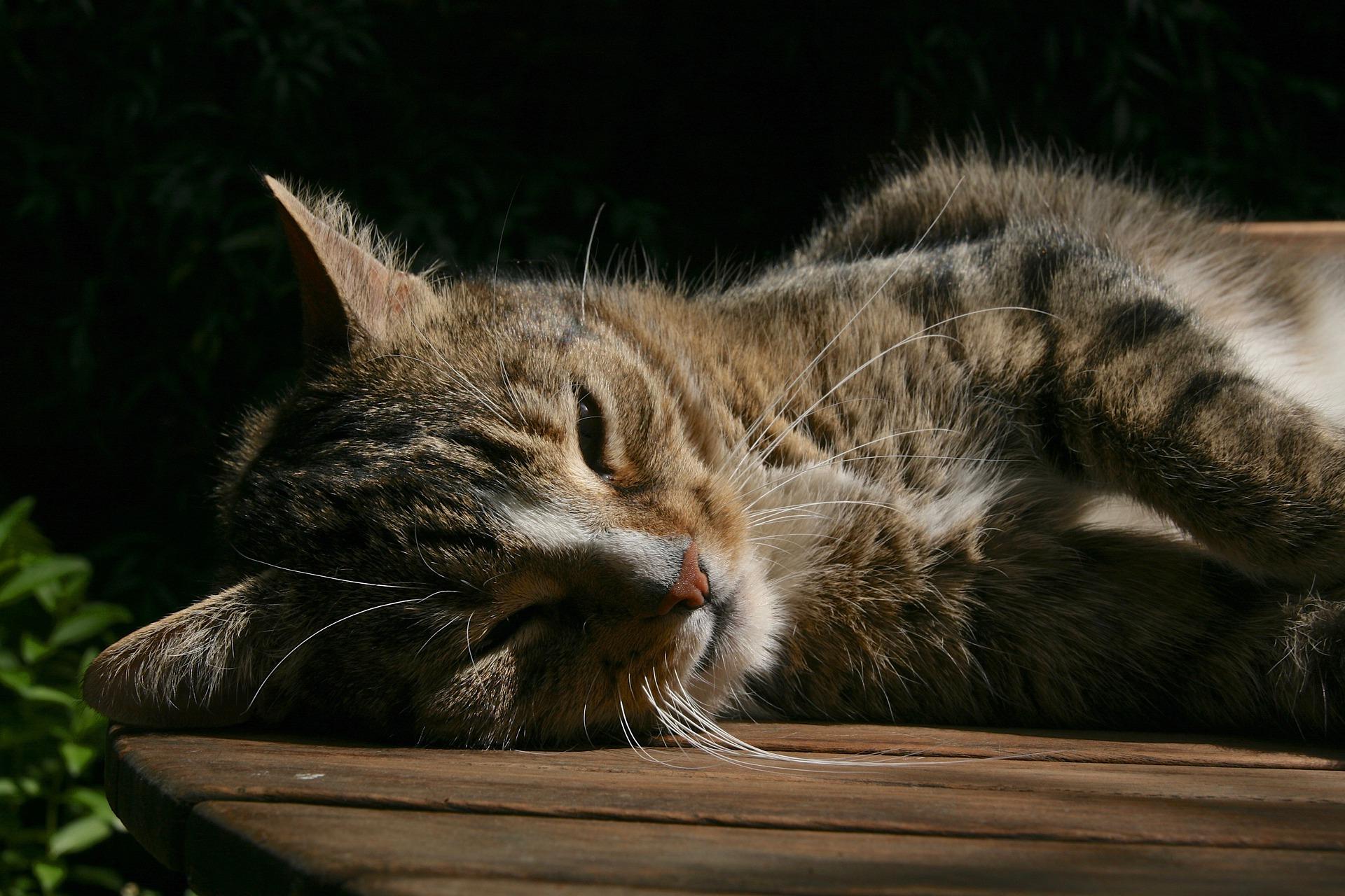 Si tu gato tiene problemas para respirar llévalo al veterinario