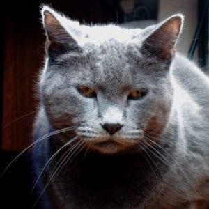 La clamidia es una enfermedad que también pueden tener los gatos