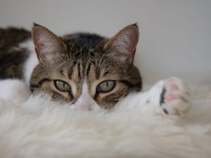 El vómito en los gatos es un síntoma importante