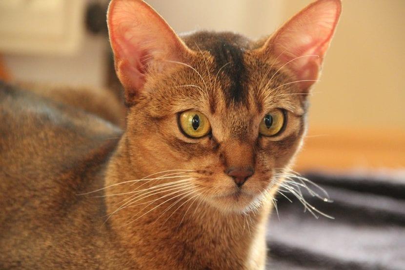 Esterilizar a una gata es una decisión responsable