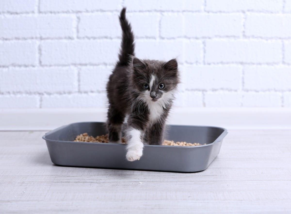 Los gatitos pueden hacer sus necesidades en el arenero pronto