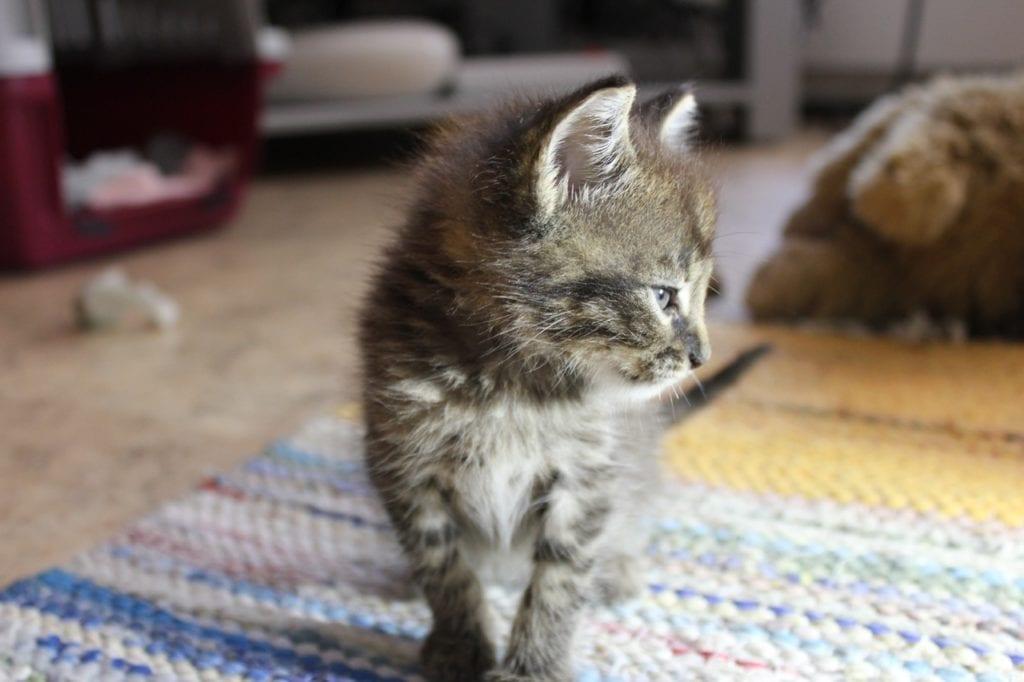 El calcivirus es una enfermedad muy grave que afecta a los gatos
