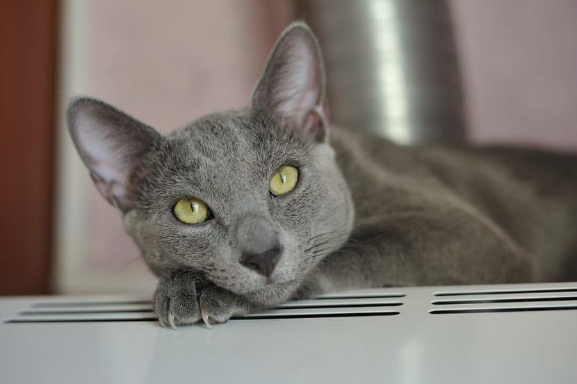 Protege a tu gato del coronavirus