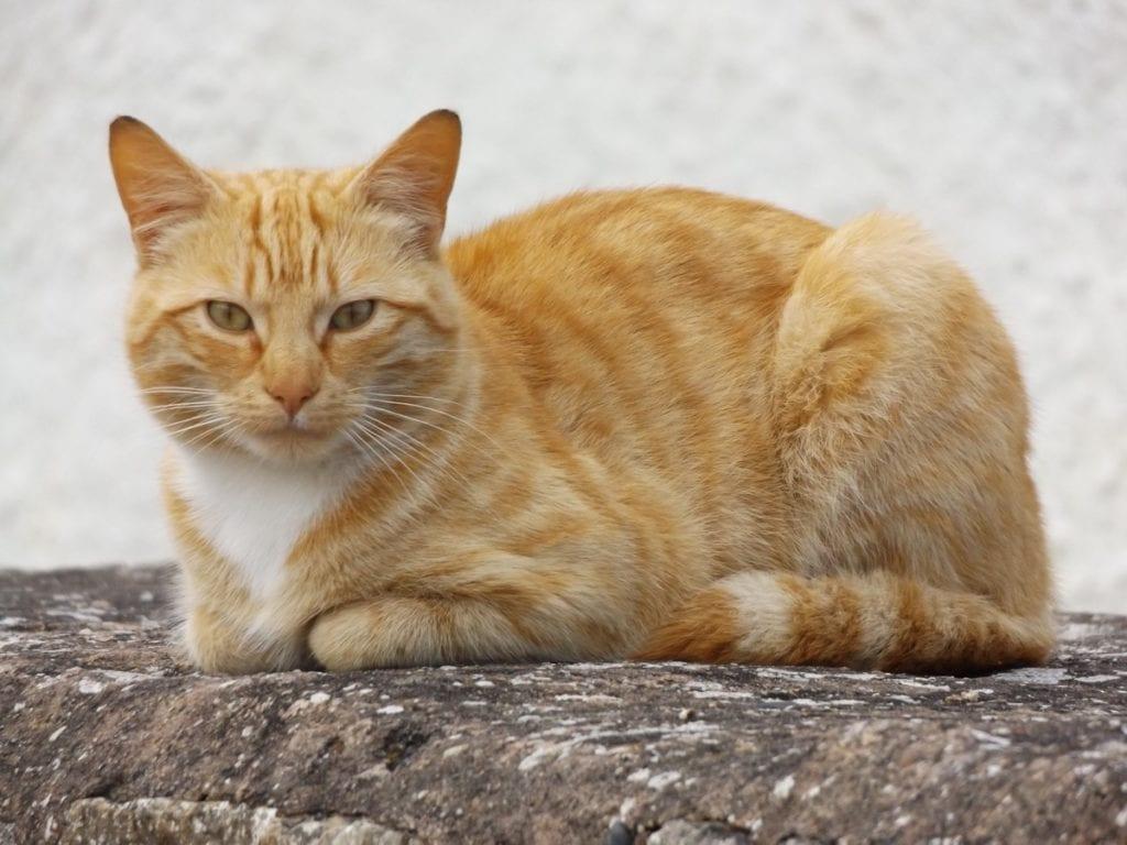 Los gatos que están vacunados están más protegidos contra el calcivirus
