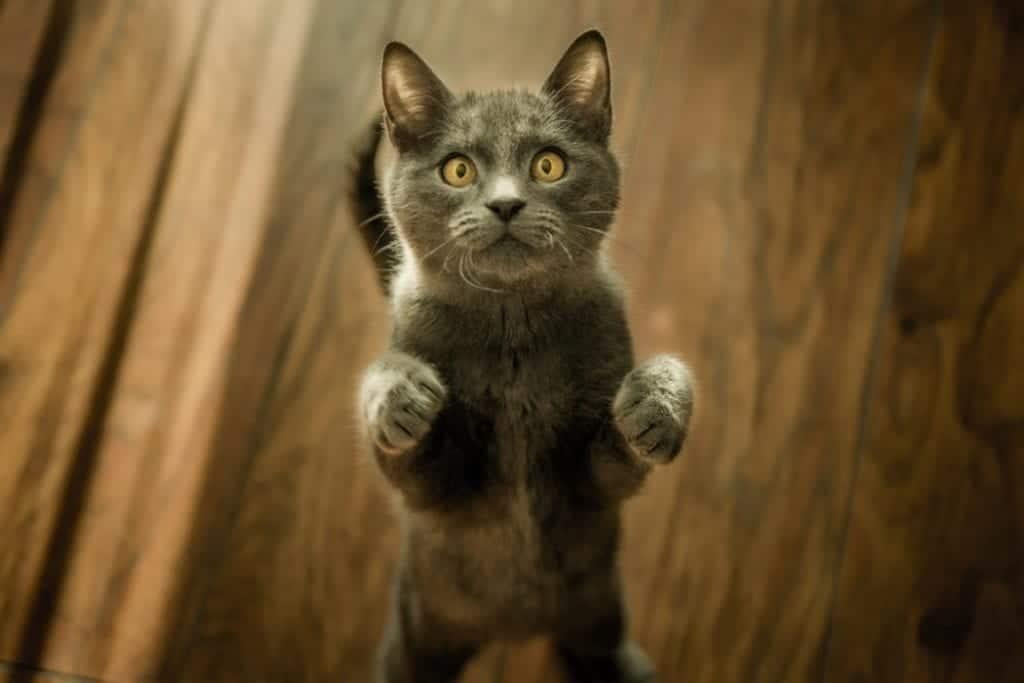 El cuerpo del gato es ágil, musculoso, atlético