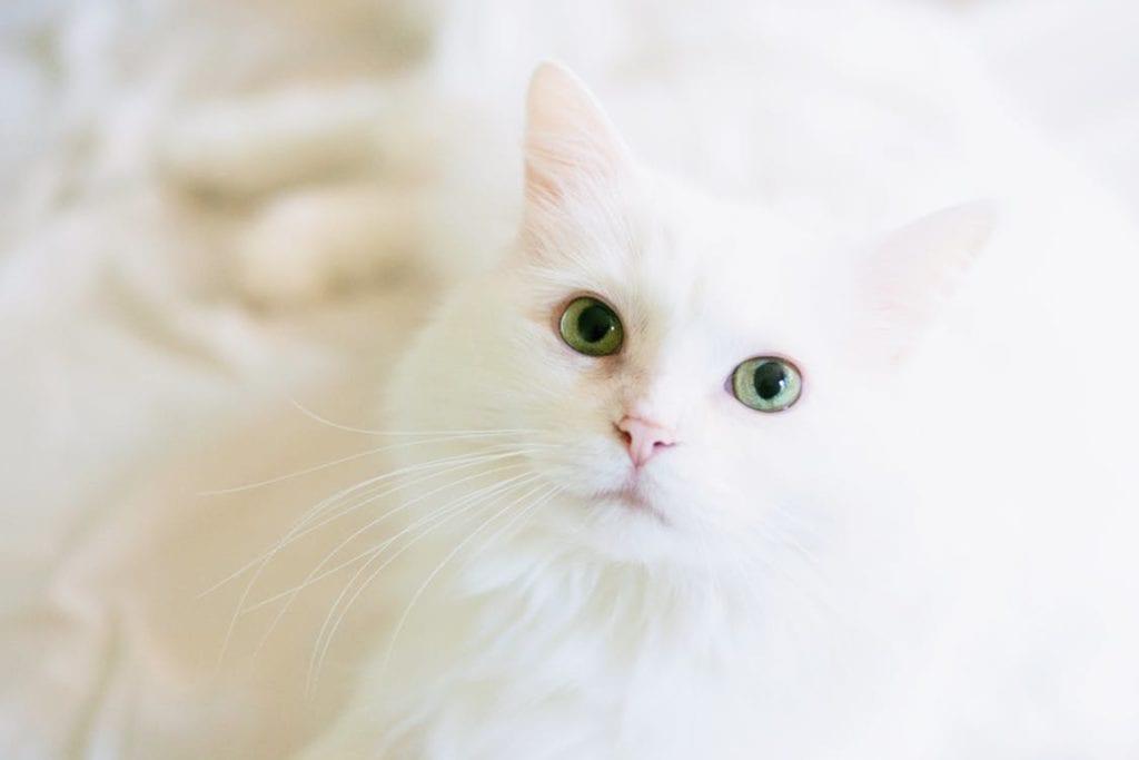 Vista del gato blanco