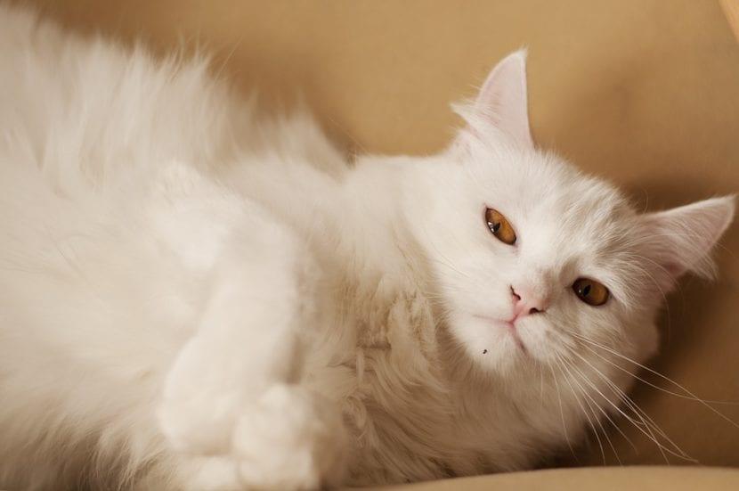 El gato blanco es un animal precioso