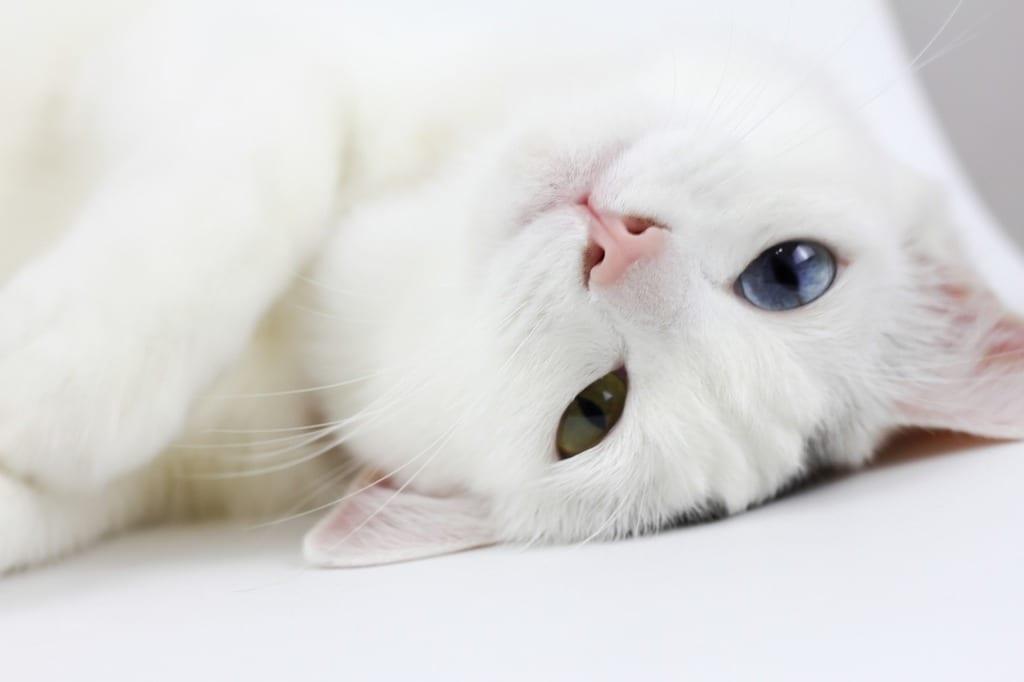 El gato blanco es precioso