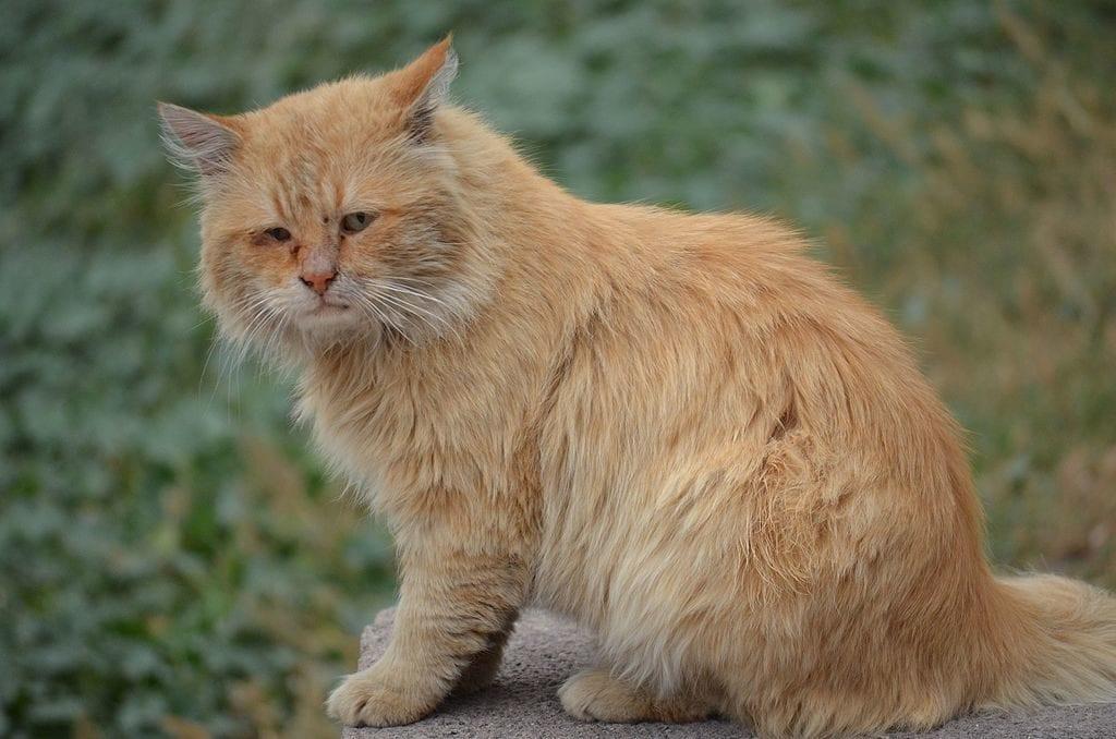 El coronavirus felino es una enfermedad grave