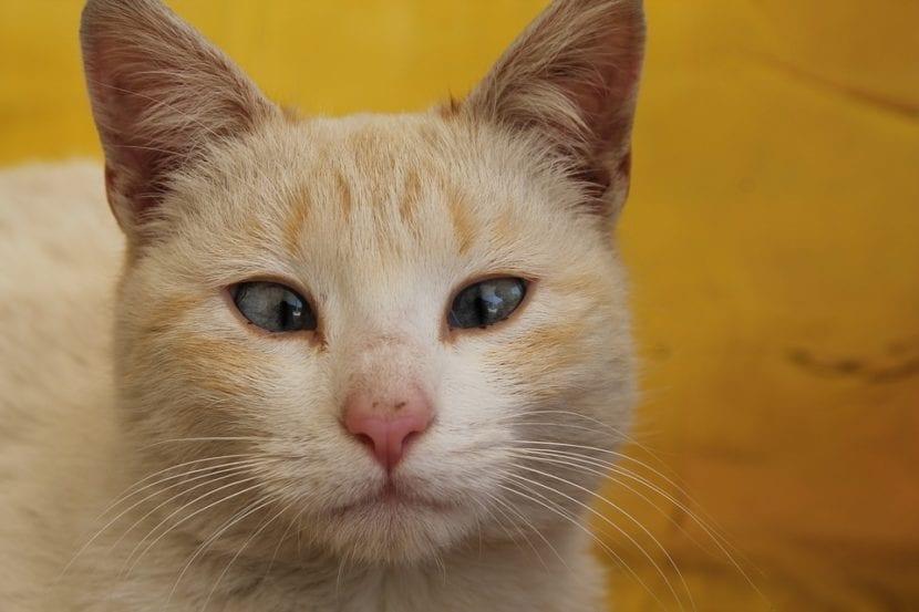 Gato adulto con estrabismo