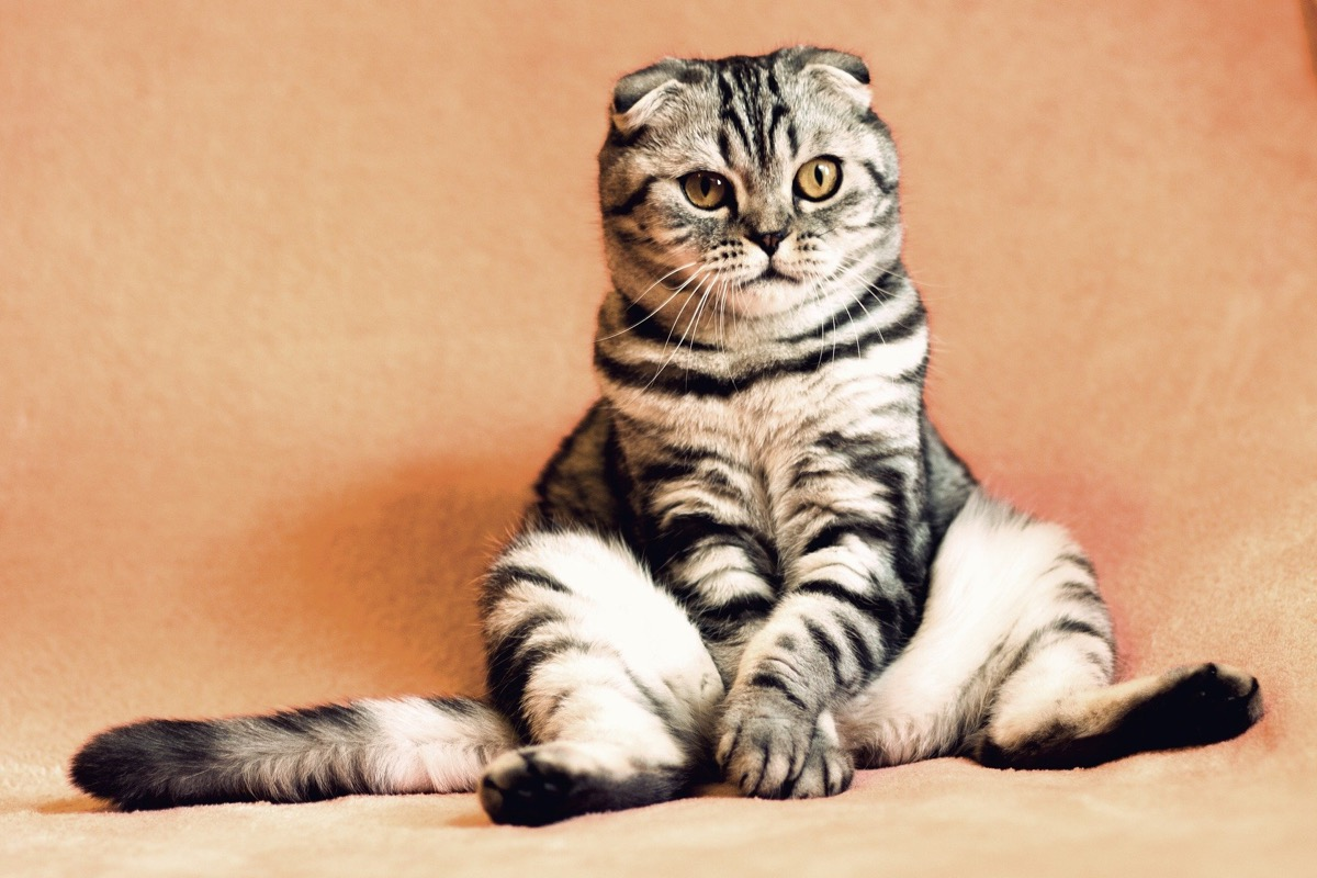 Si a tu gato le fallan las patas traseras llévalo al veterinario