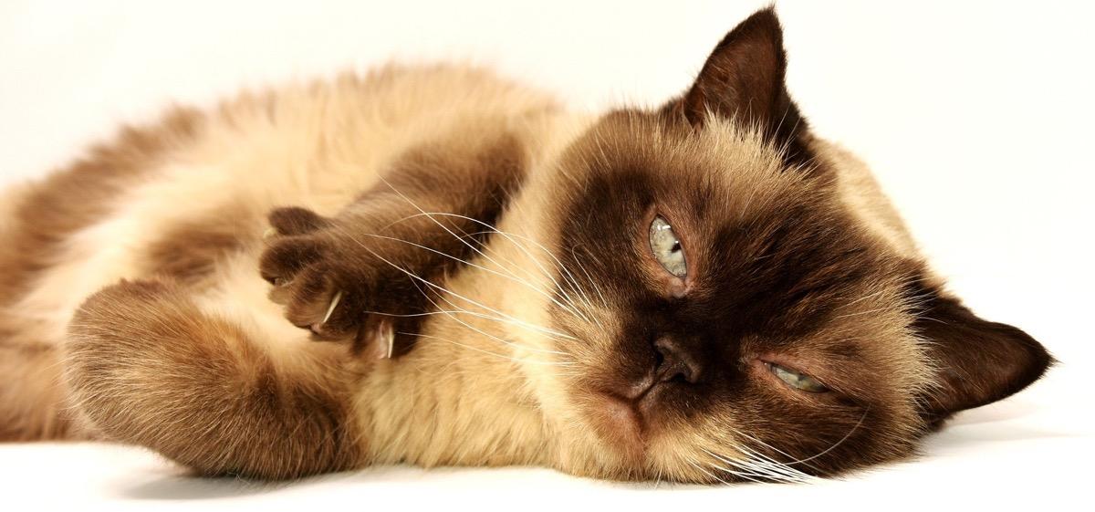 Los gatos pueden sufrir enfermedades