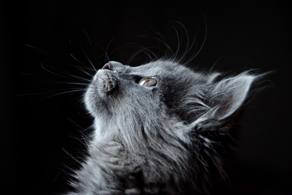 Si tu gato camina raro, debes de preocuparte