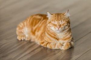 Gato naranja atigrado