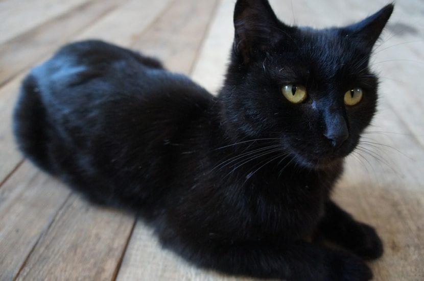 El gato negro tiene mala fama inmerecida fruto de la ignorancia