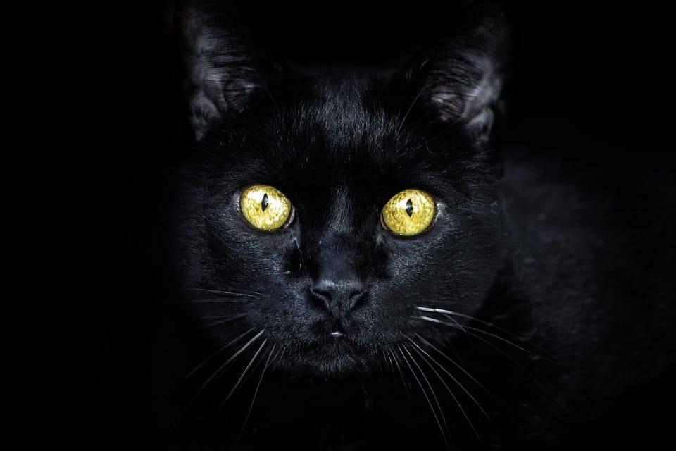 Los gatos negros son animales muy dulces