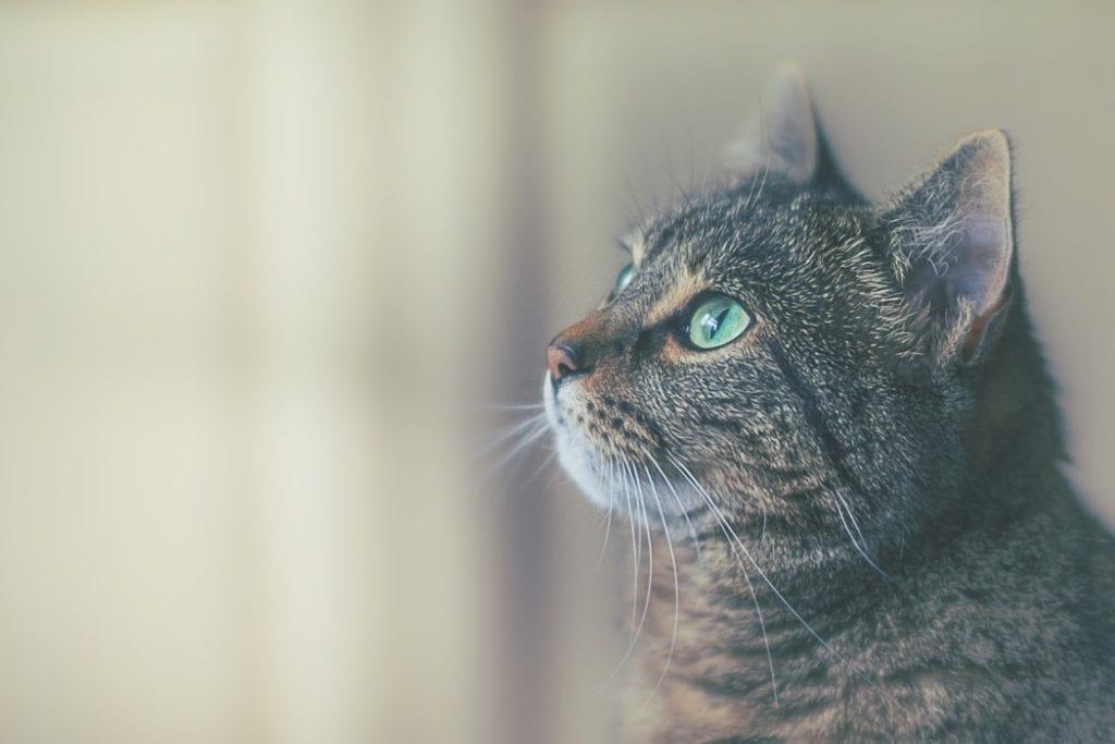 Gato con ojos verdosos