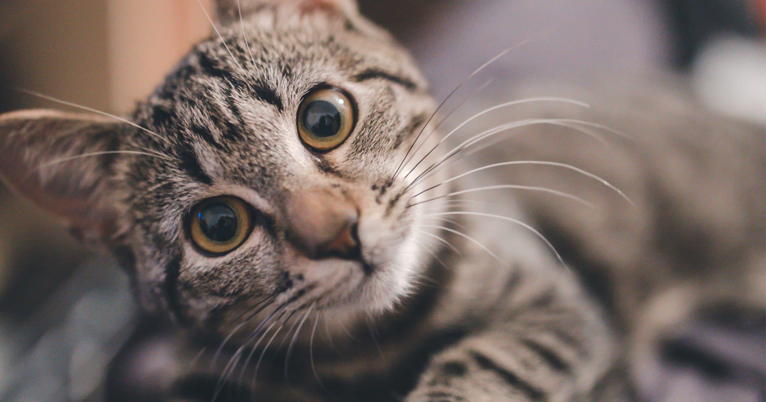 Las pupilas de los gatos pueden transmitirnos varios mensajes distintos