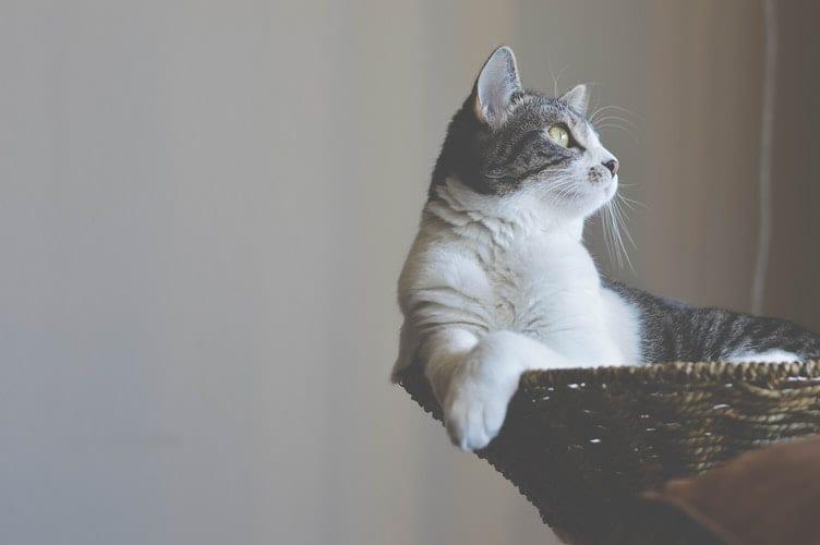 Los gatos son más tranquilos si tienen un árbol rascador