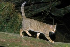 Vista de un gato africano